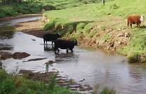 Cows in a stream.