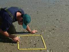 A staff member carrying out epifaunal sampling in the Ruakaka Estuary.
