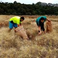 Ecosourcing for dune restoration