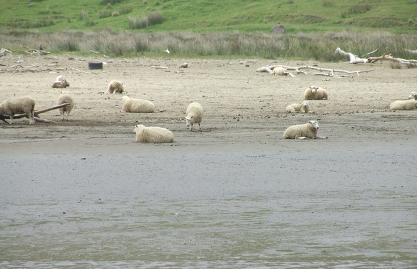 Sheep in the tide.