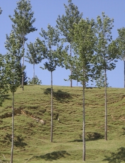 Poplars planted for soil erosion.