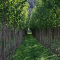 Planting poplars and willows for soil conservation