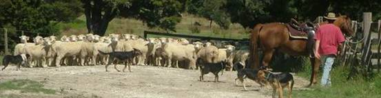 Mob of sheep on a metal road.