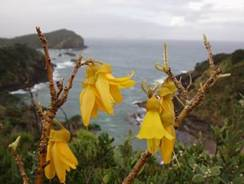 Photo of kowhai tree in bloom.