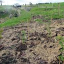 Fencing and planting transform an eroding gully : Case study
